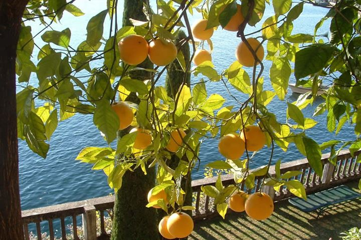 CANNERO CITRUS FRUITS, THE REAL FRUITS OF THE SUN
